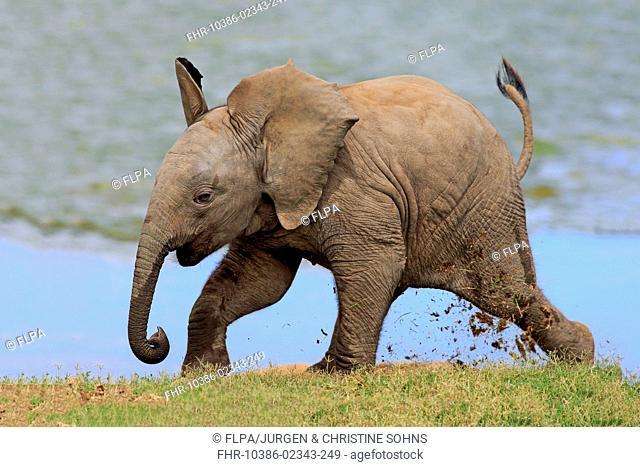African Elephant (Loxodonta africana) calf, running beside water, Addo Elephant N.P., Eastern Cape, South Africa, December