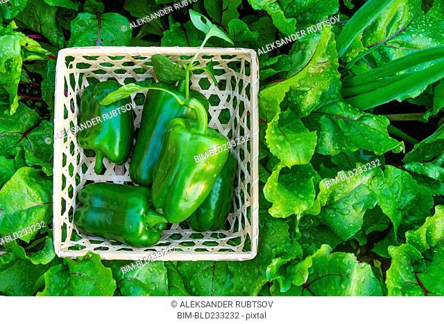 Close up of green peppers in basket on wet leaves