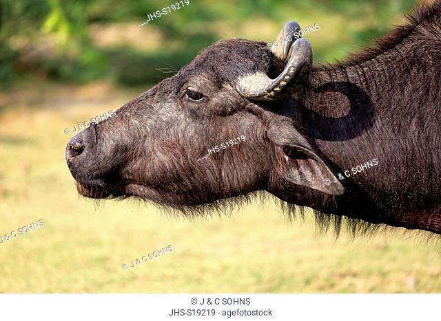 Water Buffalo, (Bubalis bubalis), adult portrait, Bundala Nationalpark, Sri Lanka, Asia