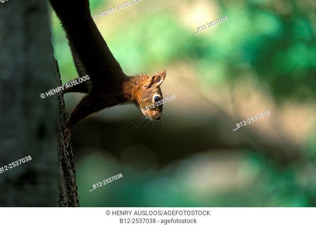 Red squirrel - Sciurus vulgaris - France