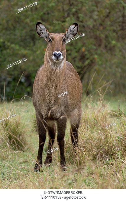 Female Defassa Waterbuck (Kobus ellipsiprymnus defassa), Masai Mara National park, Kenya, East Africa
