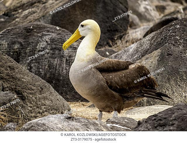 Waved albatross (Phoebastria irrorata), Punta Suarez, Espanola or Hood Island, Galapagos, Ecuador