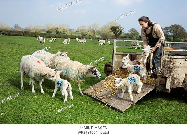 Woman on a pasture, unloading sheep and newborn lambs with numbers painted on their sides from a trailer