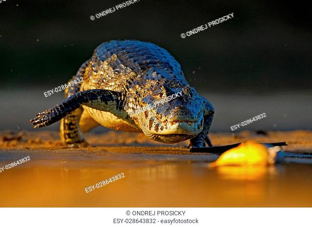 Yacare Caiman, crocodile hunting fish piranha with evening sun