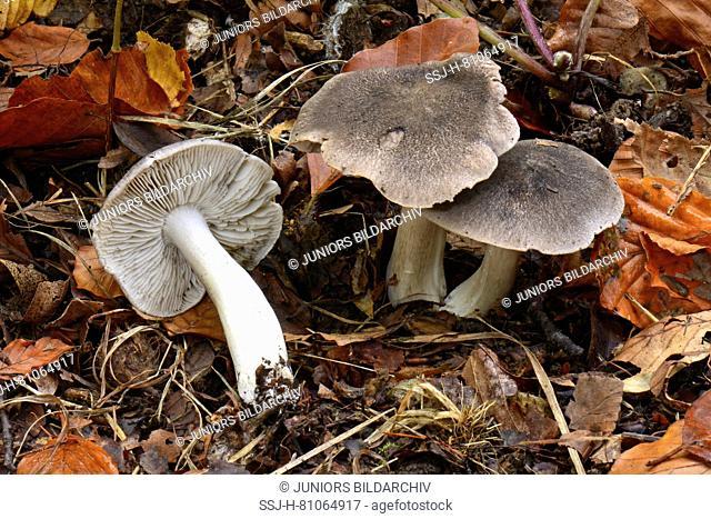 Grey Knight, Dirty Tricholoma (Tricholoma terreum)