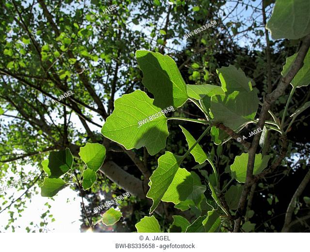 white poplar, silver-leaved poplar, abele (Populus alba), leaves in backlight, Greece, Peloponnese