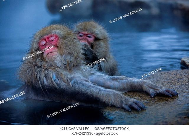 Monkeys in a natural onsen (hot spring), located in Jigokudani Monkey Park, Nagono prefecture,Japan