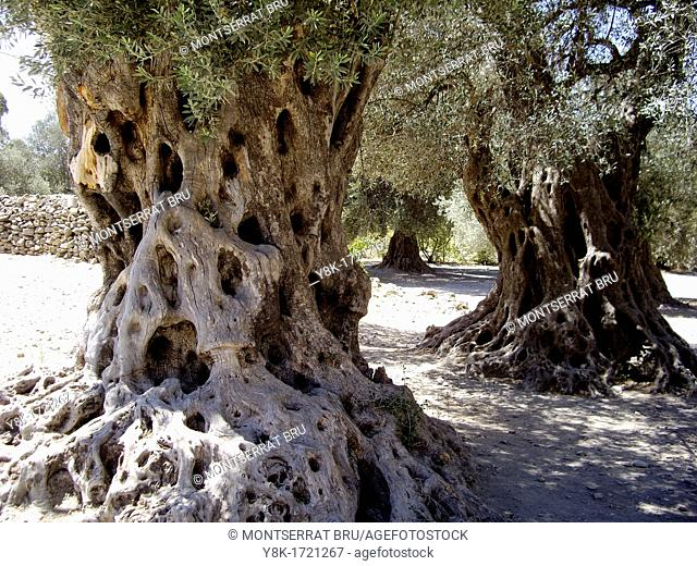 Ancient olive tree trunks in summer in Crete, Greece