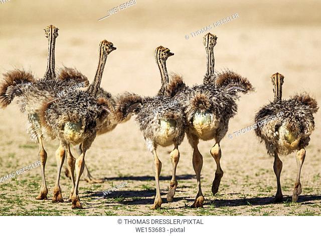 Ostrich (Struthio camelus). Five chicks. Kalahari Desert, Kgalagadi Transfrontier Park, South Africa