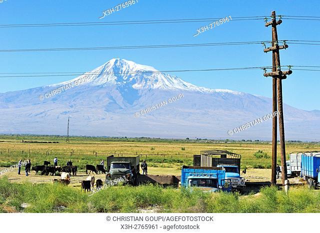 cattle market in the Ararat plain near Artashat, with the Mount Ararat in the background, 30 km southeast of Erevan, Armenia, Eurasia