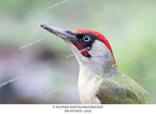 Green Woodpecker (Picus viridis), animal portrait, sideview, Hesse, Germany