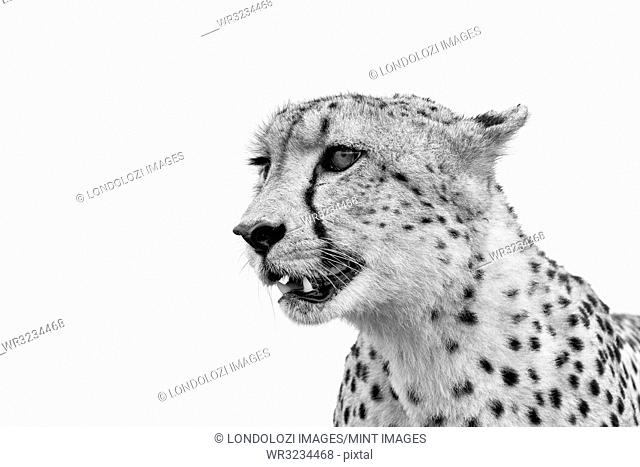 A cheetah's head, Acinonyx jubatus, looking away, ears back, mouth open, in black and white