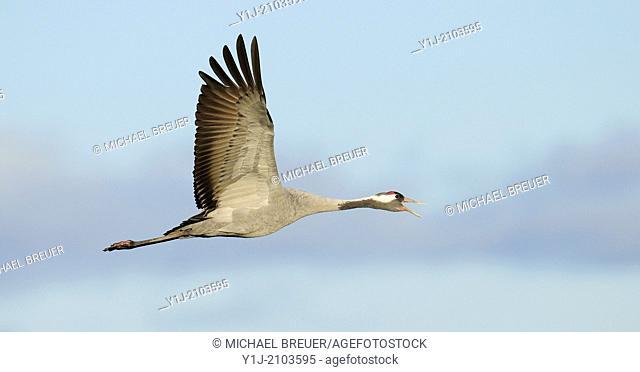 Common crane, Grus grus, Mecklenburg-Western Pomerania, Germany, Europe