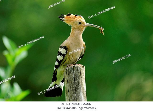 hoopoe (Upupa epops), on a post with feed in the bill, Germany, Baden-Wuerttemberg, Kaiserstuhl