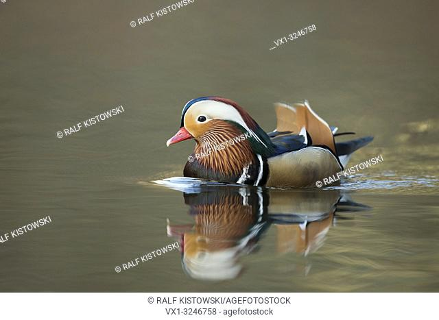Mandarin Duck / Mandarinente ( Aix galericulata ), colourful drake in breeding dress, swimming, comes closer, mirroring on calm water