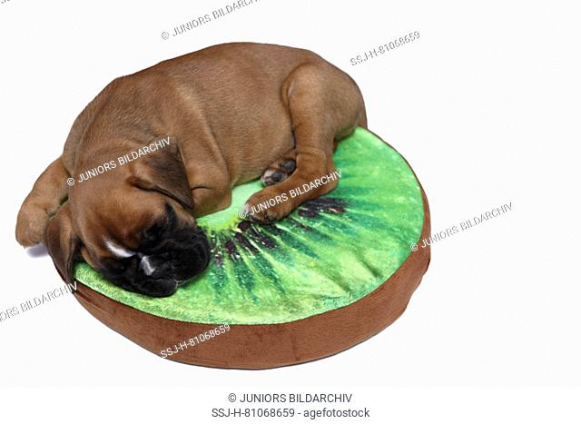 German Boxer. Puppy (7 weeks old) sleeping on a kiwi-shaped cushion. Studio picture