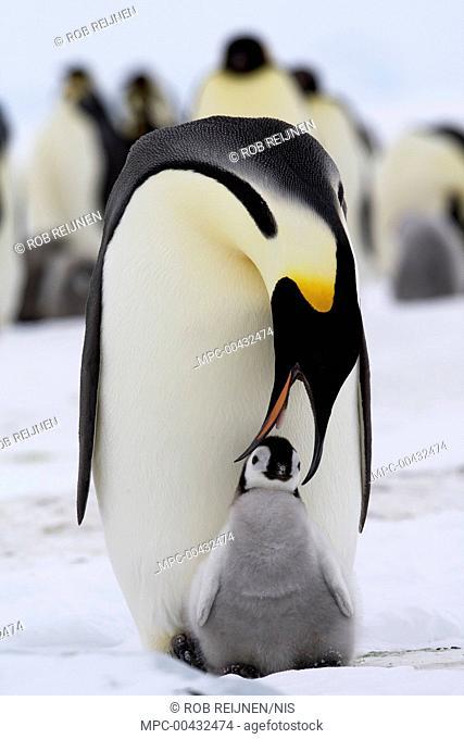 Emperor Penguin (Aptenodytes forsteri) feeding chick, Antarctica