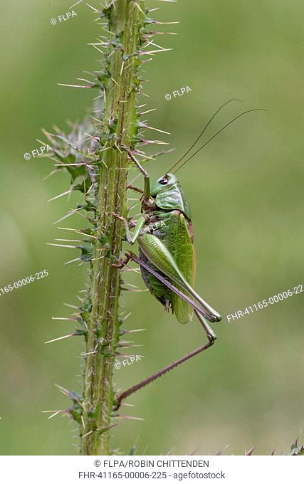 Wart-biter Cricket Decticus verrucivorus adult male, on prickly stem, Pyrenees, France, july