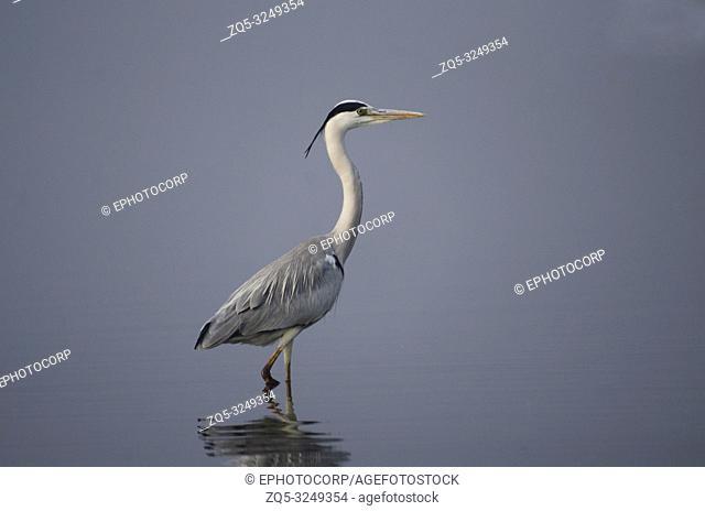 Grey Heron, Ardea cinerea standing in water with reflection at Bhigwan, Pune, Maharashtra, India