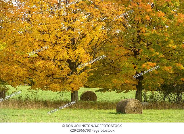 Autumn maples and hay rolls, Perivale, Manitoulin Island, Ontario, Canada