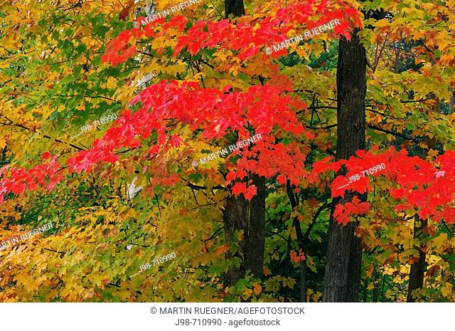 Maple Tree with fall foliage in autumn, close up  Algonquin Provincial Park, Ontario, Canada