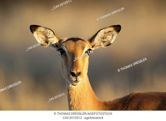 Impala (Aepyceros melampus) - Female. Only males have horns. Kruger National Park, South Africa