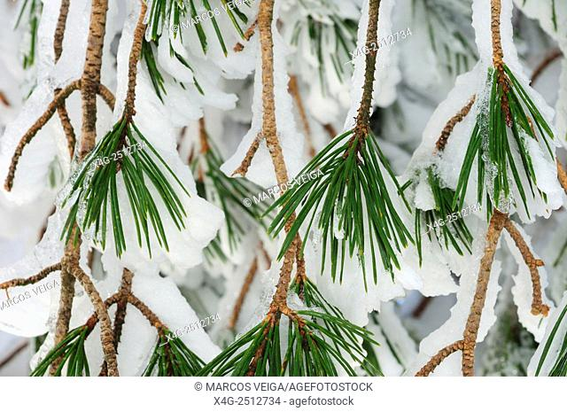 Scots pines (Pinus sylvestris) covered in snow