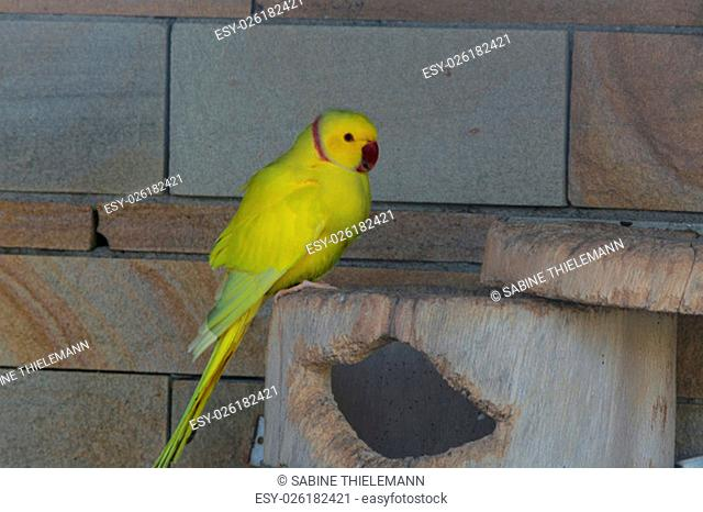 Parakeet nature Stock Photos and Images | age fotostock