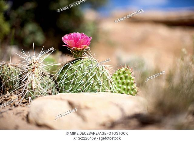 Desert cactus flower grows in an inhospitable environment in the American Southwest, the red of the flower and green of the cactus contrasting with a stone...
