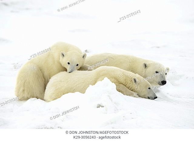 Polar Bear (Ursus maritimus) Mother and yearling cubs resting along the Hudson Bay coast, Wapusk NP, Cape Churchill, Manitoba, Canada