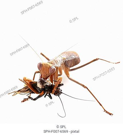 African mantis (Sphodromantis lineola) eating a black field cricket (family Gryllida)
