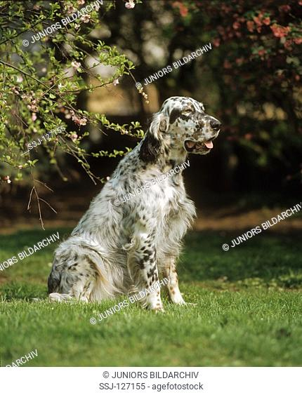 English Setter - on meadow
