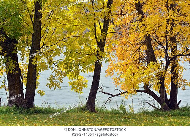 Autumn ash trees on the shores of Crooked Lake, Qu'Appelle Valley, Saskatchewan, Canada