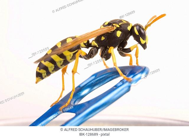 Yellow Paper Wasp (Polistes dominulus) on a soda can