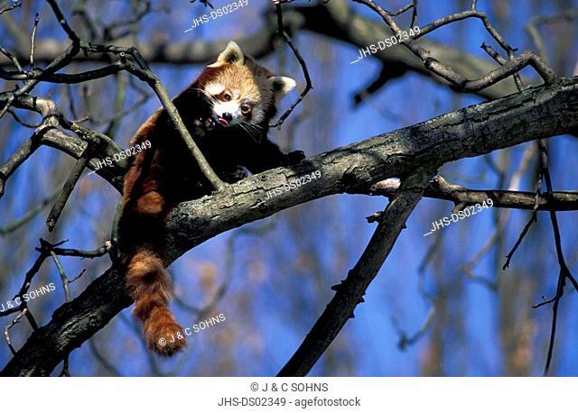 Red Panda,Ailurus fulgens fulgens,China,Asia,adult on tree