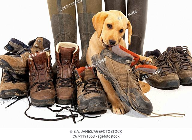 Yellow Labrador Puppy playing with boots