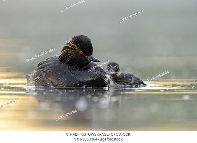 Black-necked Grebe / Eared Grebe (Podiceps nigricollis ) together with juvenile chick, wildlife, Europe