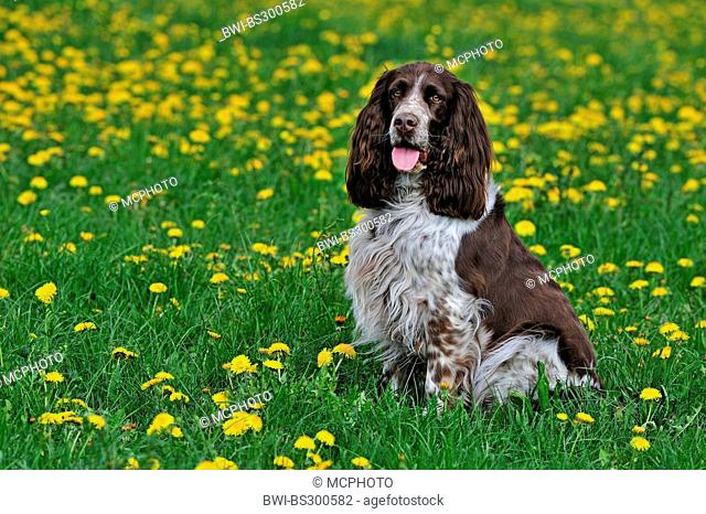 English Springer Spaniel (Canis lupus f. familiaris), sitting in a dandelion meadow, Germany