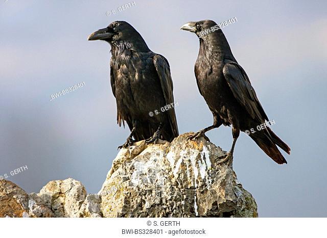 common raven (Corvus corax), two ravens sitting on a rock sunbathing, Bulgaria, Sredna Gora, Sliven