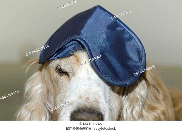Cocker spaniel dog with a sleep mask on his head
