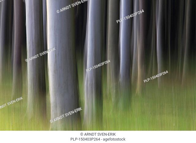 Abstract, motion blurred beech tree trunks at Ghost Wood / Gespensterwald along the Baltic Sea beach at Nienhagen, Mecklenburg-Vorpommern, Germany