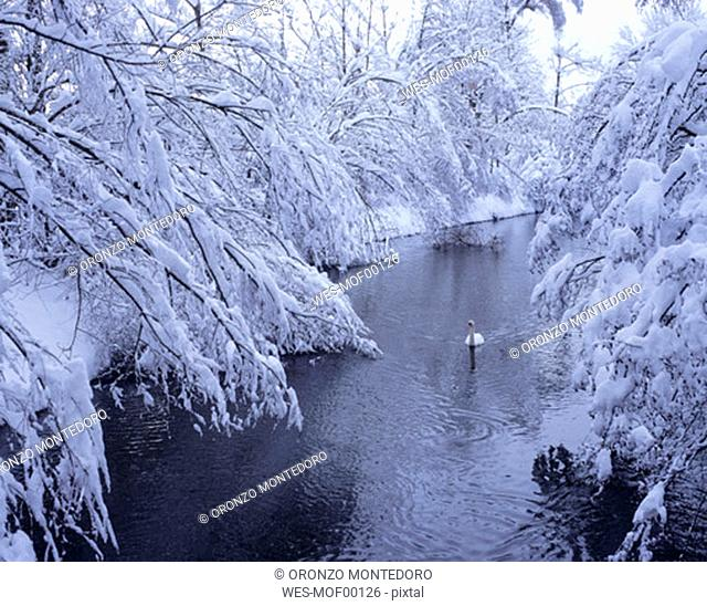 Swan on river in winter, Schöngeising, Bavaria, Germany