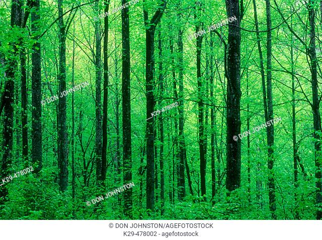 Mature tree trunks and fresh foliage in forest understory. Great Smoky Mountains NP. Tennessee. USA