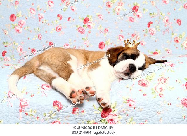 St. Bernard Dog. Puppy (7 weeks old) sleeping on a blue blanket with rose flower print, wearing a crown on its head. Germany