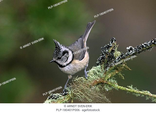 European crested tit (Lophophanes cristatus / Parus cristatus) perched in tree on lichen covered branch