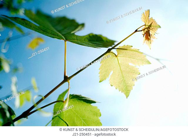 Tendril of vine (Vitis vinifera)