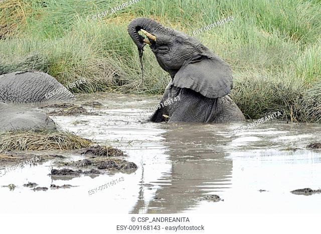 Young elephant playing in a water pool