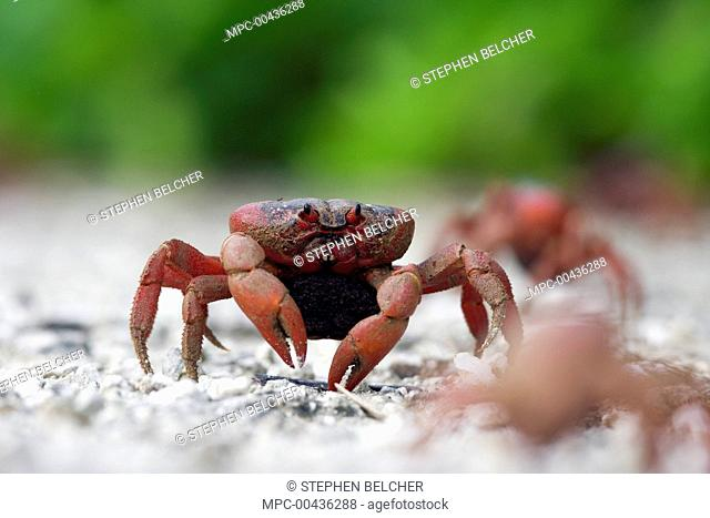 Christmas Island Red Crab (Gecarcoidea natalis) female with eggs walking down a path to the sea, Christmas Island, Australia