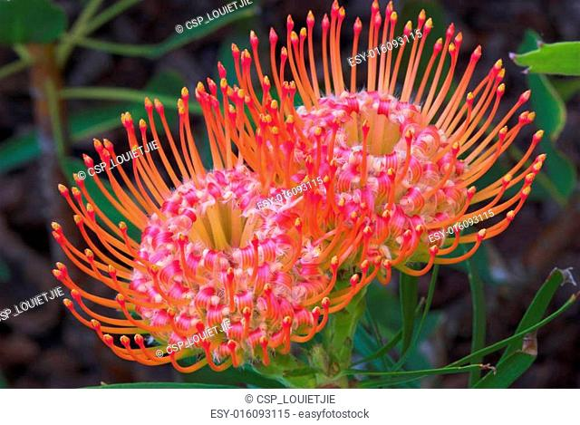 Protea pincushions #4