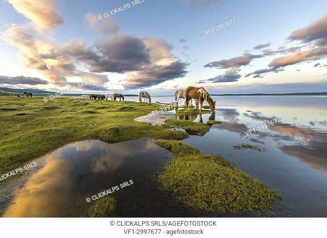 Horses grazing and drinking water from Hovsgol Lake at sunset. Hovsgol province, Mongolia